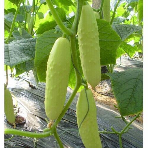 秦皇岛靠谱的水果黄瓜种子购买